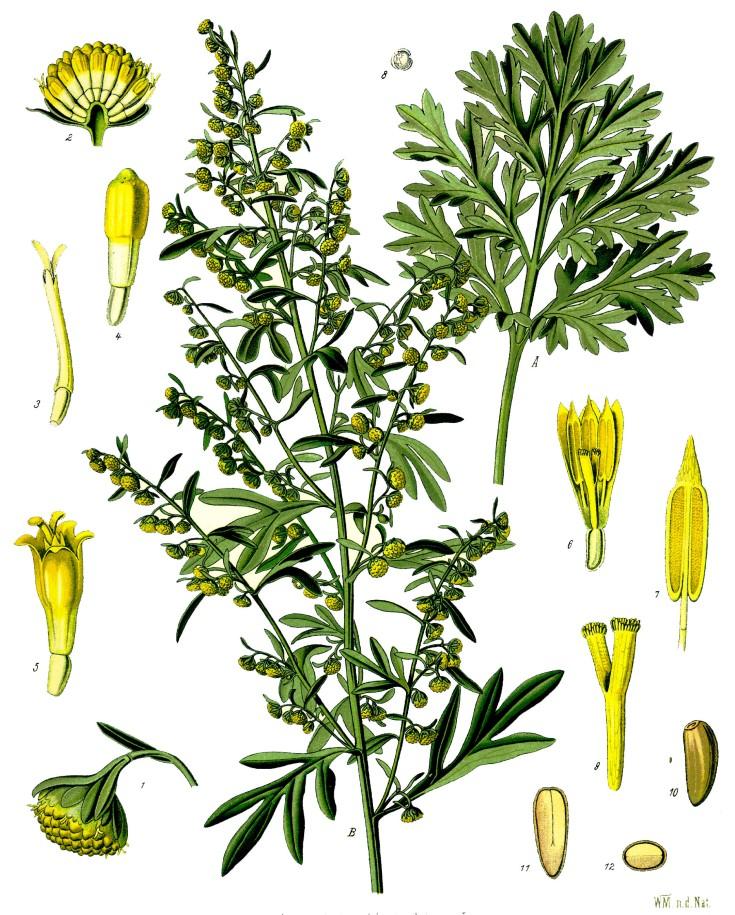 Artemisia_absinthium_-_Köhler–s_Medizinal-Pflanzen-164.jpg